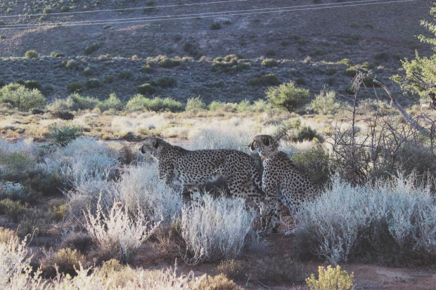 Geparden aus nächster Nähe